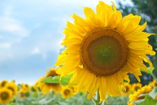 Free Sunflowers Royalty Free Stock Images - 15229019