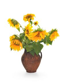 Free Withering Sunflowers In A Jug Royalty Free Stock Photos - 15229978