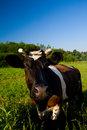 Free Cow At Pasture Stock Image - 15233741