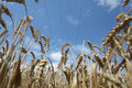 Free Field Of Ripening Wheat Against Blue Sky Stock Photo - 15234230
