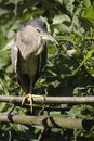 Free Striated Heron Royalty Free Stock Photos - 15234638