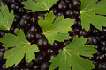 Free Black Currant And Leaves Royalty Free Stock Photos - 15237978