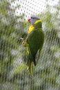 Free Rainbow Lorikeet Holding On Gauze Royalty Free Stock Photography - 15239207
