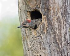 Free Northern Flicker Stock Photos - 15230773