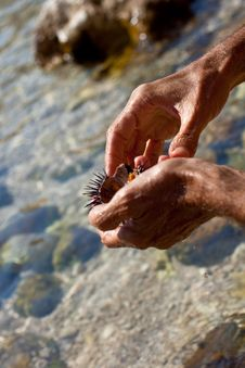 Free Sea Urchin Stock Photo - 15230990