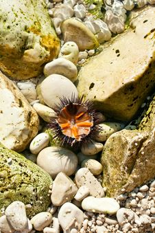 Free Sea Urchin Stock Photography - 15231042