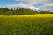 Free Rape Field Royalty Free Stock Photos - 15231138