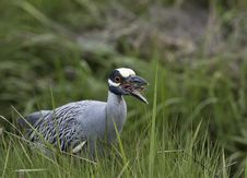 Free Yellow-crowned Night-heron Royalty Free Stock Photos - 15231328