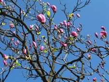Free Pink Magnolia Tree Blossoming Royalty Free Stock Photos - 15231348
