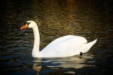 Free Majestic Swan Stock Photos - 15232123