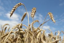 Free Field Of Ripening Wheat Against Blue Sky Royalty Free Stock Photo - 15234215
