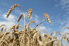 Free Field Of Ripening Wheat Against Blue Sky Stock Image - 15234221