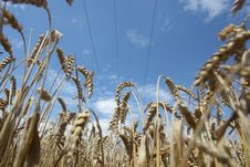 Field Of Ripening Wheat Against Blue Sky Stock Photo