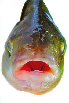 Free Predatory Fish Royalty Free Stock Photo - 15234805