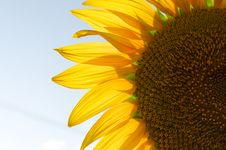 Free Petal Of The Sunflower Stock Photos - 15234843