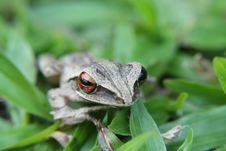 Free Little Grey Frog Stock Photo - 15234850