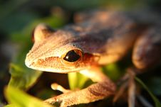 Free Curious Little Grey Frog Royalty Free Stock Photography - 15234857