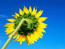 Free Sunflower On Blue Sky. Royalty Free Stock Image - 15234886