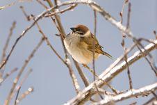 Free Sparrow Royalty Free Stock Photos - 15234918