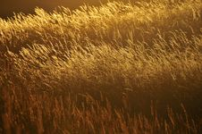 Free Wheat Stock Images - 15236854