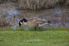 Free Canadian Goose Royalty Free Stock Image - 15237286