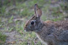 Free Wild Rabbit Stock Photo - 15237290