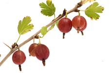 Free Gooseberries. Stock Photo - 15237570