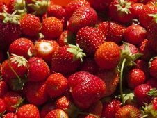 Free Just The Collected Strawberry. Royalty Free Stock Photography - 15237617
