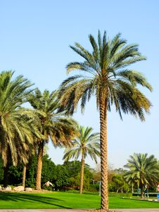 Free Palm Trees Royalty Free Stock Images - 15237729