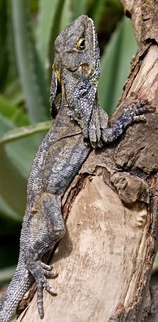 Frill-necked Lizard 6 Royalty Free Stock Photos