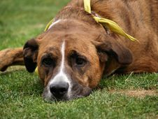 Free Tired Dog Royalty Free Stock Image - 15239756