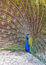 Free Peacock Royalty Free Stock Image - 15244486