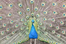 Free Peacock Showing Tail Royalty Free Stock Photo - 15240345