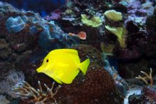 Yellow Tang Royalty Free Stock Photography