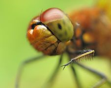 Free Dragonfly Royalty Free Stock Images - 15240589