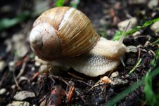 Free Snail On Forest Ground Stock Photography - 15241452