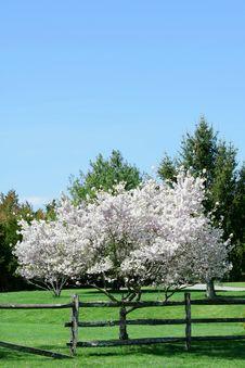 Free Flowering Spring Tree Stock Images - 15242194