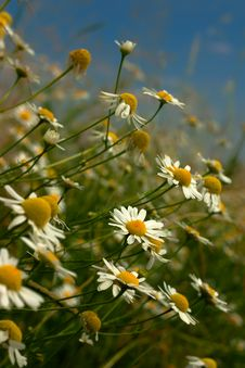 Free Daisy Flowers Closeup Stock Photo - 15242290