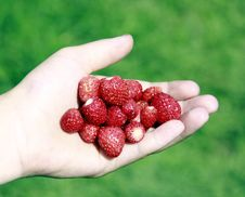 Free Wild Strawberry Royalty Free Stock Photo - 15242305