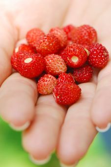 Free Wild Strawberries Royalty Free Stock Image - 15243006
