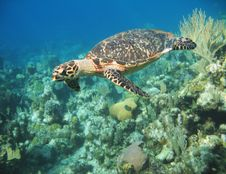 Free Large Hawksbill Turtle Royalty Free Stock Image - 15243406