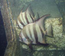 Free Pair Of Atlantic Spadefish Royalty Free Stock Images - 15243529