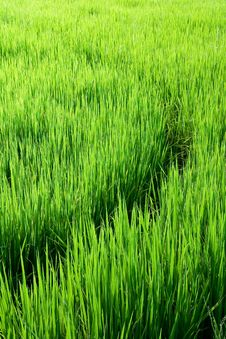 Free Curves In Rice Fields Stock Photo - 15244380