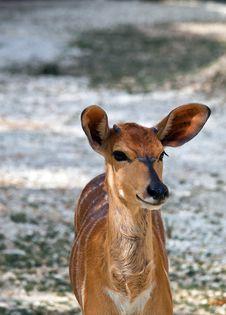 Free Deer Royalty Free Stock Photos - 15244478