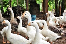 Free Geese Stock Photography - 15245322