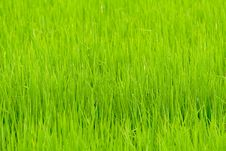 Free Paddy Field Stock Photo - 15247420