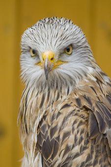 Free White Head Eagle - Danger Eyes Stock Photos - 15248283