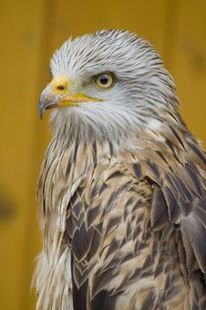 Free White Head Eagle - From Side Stock Image - 15248291