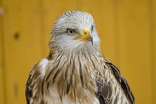Free White Head Eagle - Interest Stock Photo - 15248300