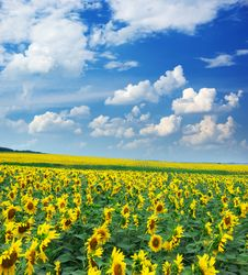 Free Big Field Of Sunflowers Royalty Free Stock Images - 15248449